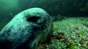Grey seal at Bonaventure island in Canada stock video footage