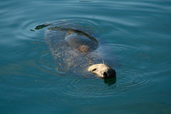 Grey Seal Bull. A Grey Seal swimming to the side of the boat to beg for fish. A big old Bull Seal Stock Image