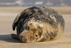 Grey seal bull at rest. A Grey Seal Bull rests at Donna Nook Linconshire Stock Photo