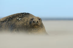 Grey Seal Bull in a Sandstorm. Grey Seal Bull sits out a sandstorm at Donna Nook, Linconshire Royalty Free Stock Photos