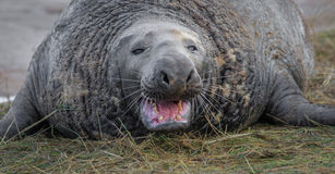Grey Seal, Bull. Stock Image
