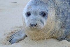 Grey Seal che guarda avanti diritto alla macchina fotografica Fotografia Stock Libera da Diritti