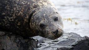 Grey seal closeup Iceland. Close up of a grey seal at Ytra Tunga in Iceland stock photos