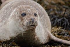 Grey seal closeup Stock Image