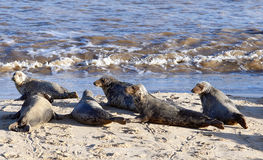 Grey seal colony on Horsey Beach. Part of the breeding colony of several hundred Grey Seals (Halichoerus grypus) that has become established on Horsey Beach Stock Image
