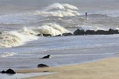 Grey Seal Coming Ashore, chevalin, Norfolk, Angleterre images libres de droits
