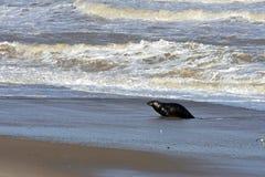 Grey Seal Coming Ashore, Horsey, Norfolk, England. Grey Seal coming ashore on the beach at Horsey, Norfolk, England. Grey seals come ashore to breed – the stock photo