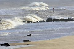 Grey Seal Coming Ashore, Horsey, Norfolk, England. Grey Seal coming ashore on the beach at Horsey, Norfolk, England. Grey seals come ashore to breed – the royalty free stock images