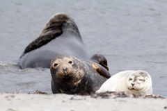 Grey seal and common seal at the beach Royalty Free Stock Photos