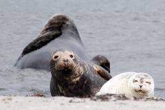 Grey seal and common seal at the beach Stock Photo