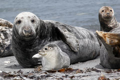 Grey seal and common seal at the beach Stock Photography