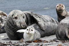 Grey seal and common seal at the beach Royalty Free Stock Photo