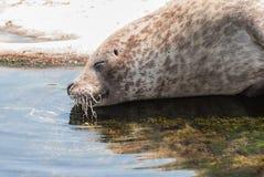 Grey Seal Stock Photos