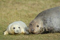 Grey Seal con il cucciolo Fotografia Stock Libera da Diritti