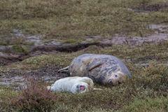 Grey Seal Cow and Pup. Royalty Free Stock Photography