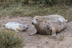 Grey Seal Cow and Pup. Royalty Free Stock Image
