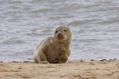 Grey Seal, das auf dem Strand sich entspannt Lizenzfreie Stockfotografie