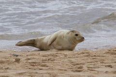 Grey Seal, das auf dem Strand sich entspannt Lizenzfreies Stockbild