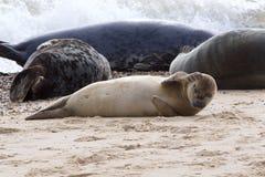 Grey Seal, das auf dem Strand sich entspannt Stockfoto