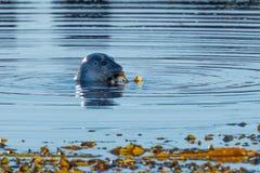 Grey Seal, das mit einer Meerespflanze nahe Hvammstangi, Nord-Island spielt lizenzfreies stockfoto
