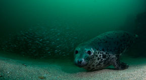 Grey Seal ed anguille Immagini Stock