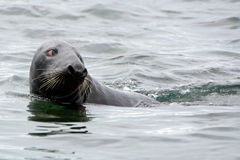 Grey seal, Farne Islands Nature Reserve, England Stock Photography