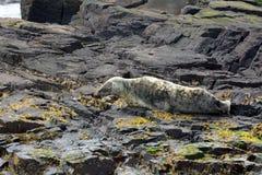Grey seal, Farne Islands Nature Reserve, England Stock Photo