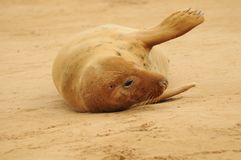 Grey seal female Stock Photos