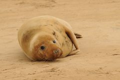Grey seal female Stock Images
