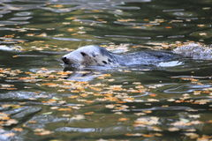 Grey seal Stock Photos
