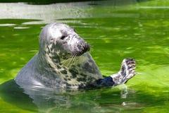 Grey Seal, Halichoerus Grypus Stock Image