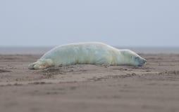 Grey Seal - Halichoerus grypus Royalty Free Stock Photos