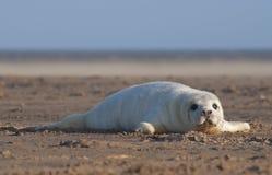 Grey Seal - Halichoerus grypus Stock Image