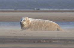 Grey Seal - Halichoerus grypus Royalty Free Stock Photos