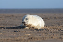 Grey Seal - Halichoerus grypus Royalty Free Stock Images