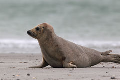 Grey Seal (Halichoerus grypus) Royalty Free Stock Photography