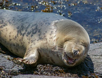 Grey Seal / Halichoerus grypus Stock Photography