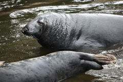 Grey seal (Halichoerus grypus). Stock Photos