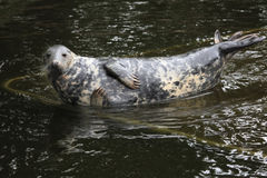Grey seal (Halichoerus grypus). Royalty Free Stock Images