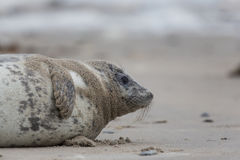 Grey seal Halichoerus grypus baby Stock Images