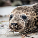 Grey seal (halichoerus grypus) Royalty Free Stock Photos
