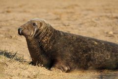 Grey Seal - Halichoerus grypus Stock Images
