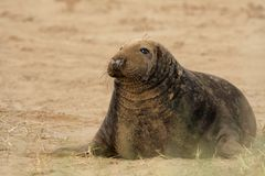 Grey Seal - Halichoerus grypus Stock Photos