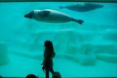 Grey seal (Halichoerus grypus). Royalty Free Stock Image
