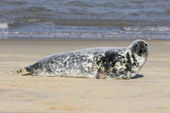 Grey seal Stock Photography