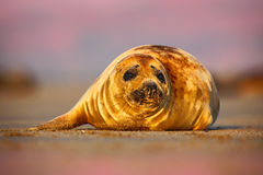 Grey Seal, Halichoerus grypus, detail portrait on the sand bech. Seal with pink morning sky in the background. Animal in the natur Royalty Free Stock Photography