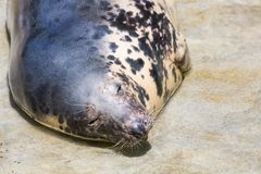Grey Seal, Halichoerus grypus, detail portrait. A view of a grey Seal, Halichoerus grypus, detail portrait Royalty Free Stock Photography
