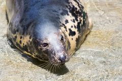 Grey Seal, Halichoerus grypus, detail portrait. A view of a grey Seal, Halichoerus grypus, detail portrait Stock Photo