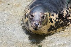 Grey Seal, Halichoerus grypus, detail portrait stock image