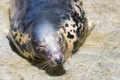 Grey Seal, Halichoerus grypus, detail portrait. A view of a grey Seal, Halichoerus grypus, detail portrait Royalty Free Stock Images